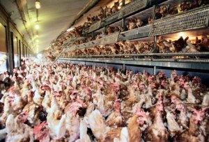 Unhappy Chickens